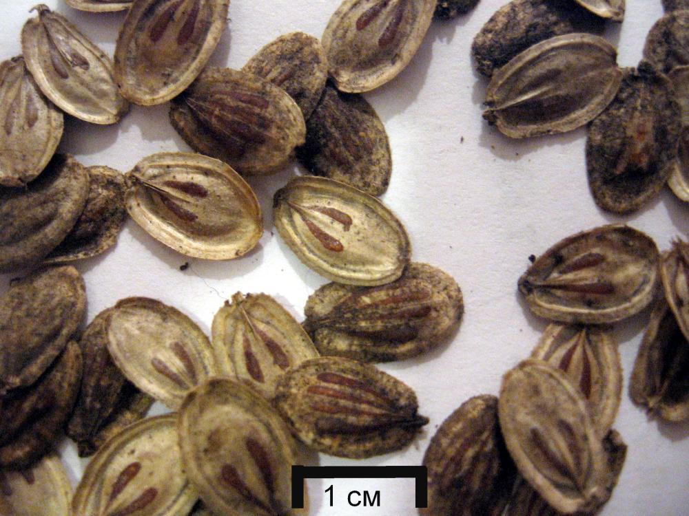 heracleum sosnowskyi seeds