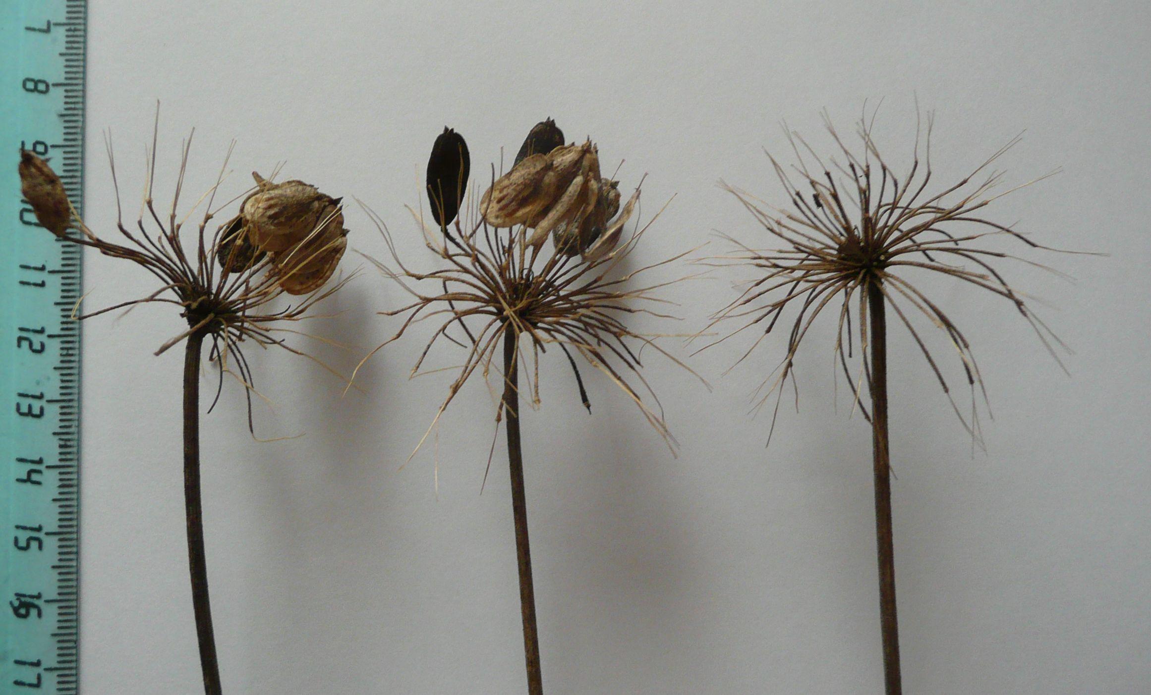 Далеко летят семена зимующие на зонтиках!